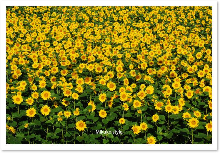 賑やかな向日葵は自分への祝福